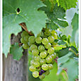 Mosel_grapes