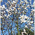Whiteflowertree