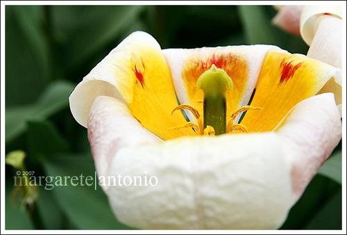 Keukenhof_flower2